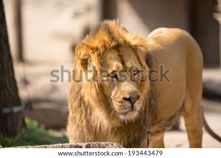 Lion, male big cat walking in sunny day