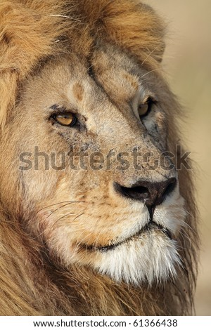 Lion male close-up, Serengeti, Tanzania