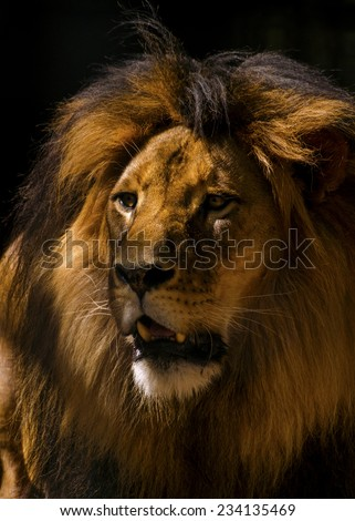 Lion Male Closeup