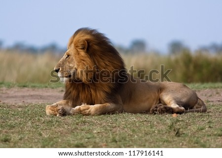 Lion male in national park African in Kenya
