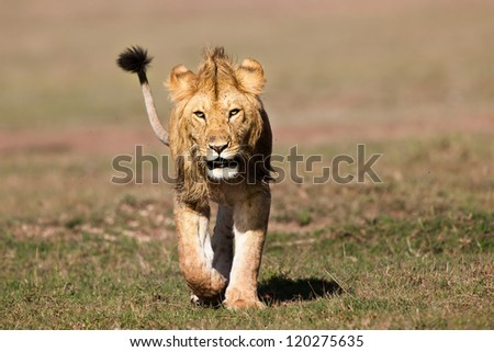 Lion male, Marsh Pride, Masai Mara, Kenya - stock photo