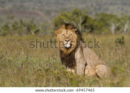 Lion male overlooks grassland