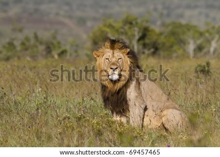 Lion male overlooks grassland - stock photo