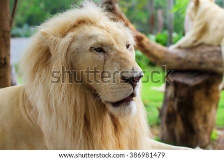 Lion male portrait at Kow keaw park in Chonburi, Thailand - stock photo