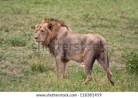 Lion male portrait closeup staring mane fierce - stock photo