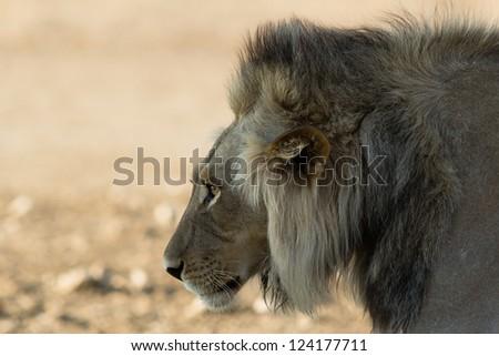 lion mane - stock photo