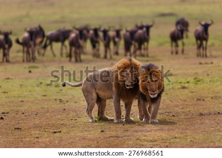 Lion Mohican and Romeo II of Double Cross Pride with Wildebeest in the background in Masai Mara, Kenya - stock photo