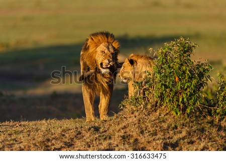 Lion Mohican with son in Masai Mara, Kenya