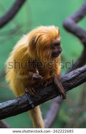 lion monkey - stock photo