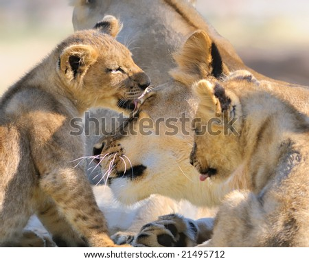 Lion mother and cubs - stock photo