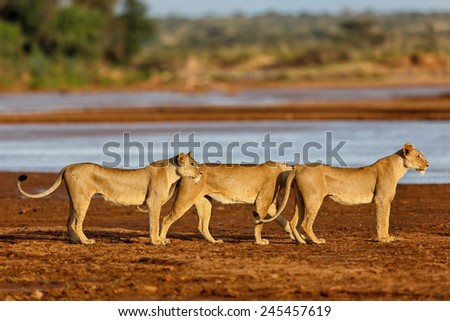Lion mother and her two daughters like to drink in Samburu National Reserve, Kenya - stock photo