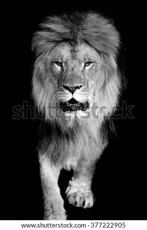 Lion on dark background. Black and white image - stock photo