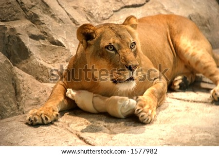 Lion on rocks with bone.