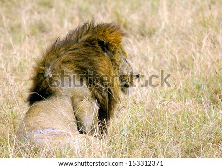 Lion on the look out for a prey