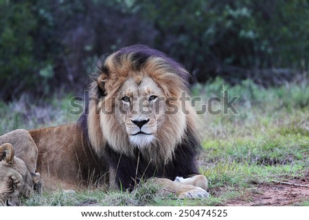Lion pair in the Amakhala Game Reserve, Eastern Cape, South Africa. - stock photo