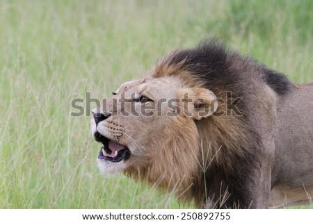 Lion (Panthera leo) - stock photo
