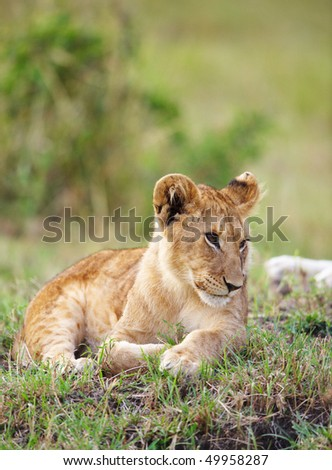 Lion (panthera leo) cub lying in savannah in South Africa