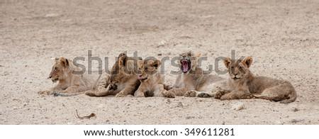 Lion ( Panthera leo) Kgalagadi Transfrontier Park, South Africa - stock photo