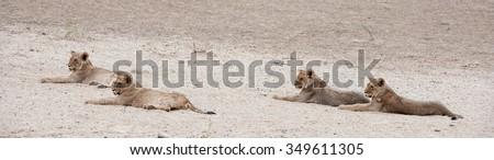 Lion ( Panthera leo) Kgalagadi Transfrontier Park, South Africa. - stock photo