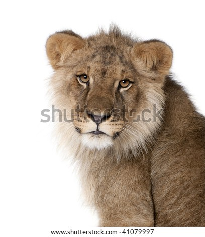 Lion, Panthera leo, 9 months old, in front of a white background, studio shot - stock photo