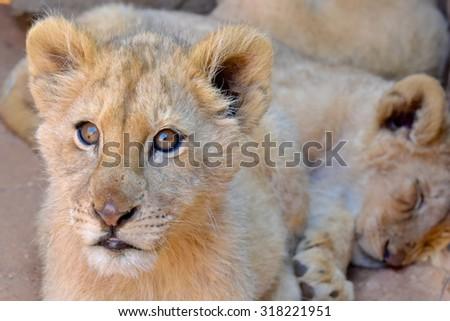 Lion  Panthera leo South Africa - stock photo
