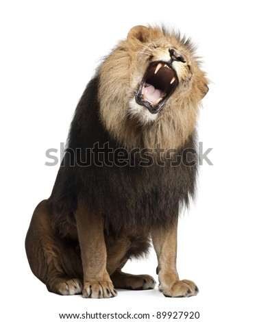 Lion, Panthera leo, 8 years old, roaring in front of white background - stock photo