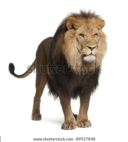 Lion, Panthera leo, 8 years old, standing in front of white background - stock photo
