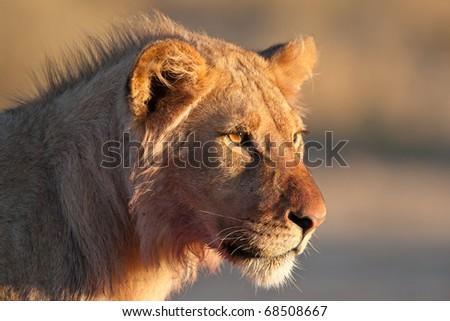 Lion Portrait - stock photo