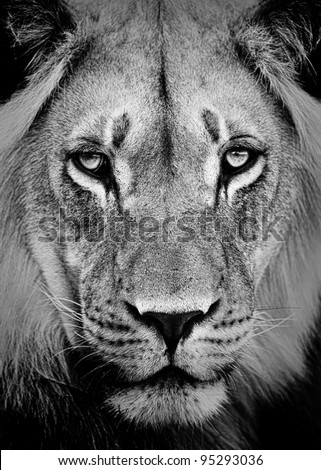 Lion Portrait in Black and White - stock photo