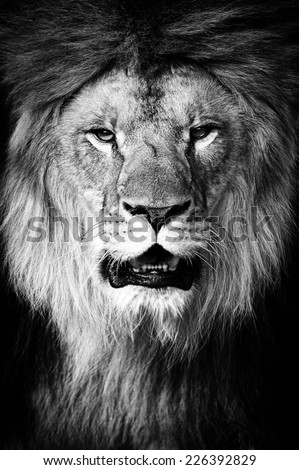 Lion portrait on black background - stock photo