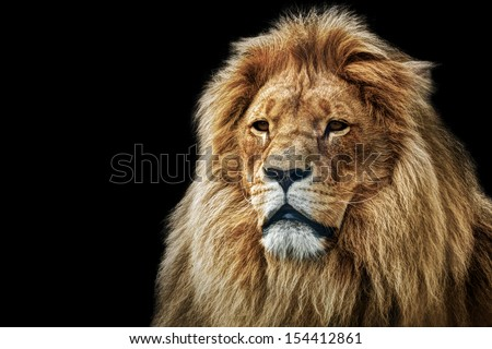 Lion portrait on black background. Big adult lion with rich mane. - stock photo