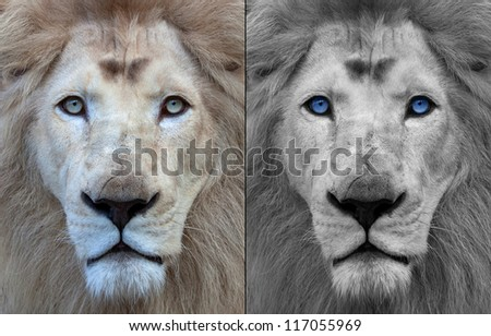 Lion portrait, original and black and white edit with blue eyes - stock photo