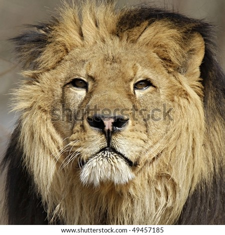 lion portrait - Panthera leo - stock photo
