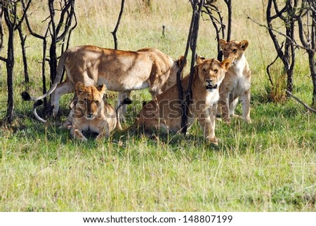 lion pride - stock photo