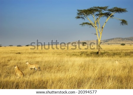 Lion Pride Hunting in African Plains - stock photo