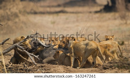 Lion pride (Panthera leo) killing African Buffalo (Syncerus caffer) - stock photo