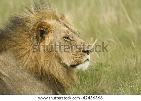 Lion profile - stock photo