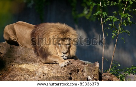 Lion relaxing on tree.