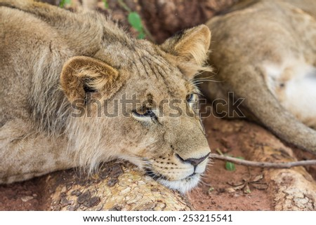 Lion Resting - stock photo