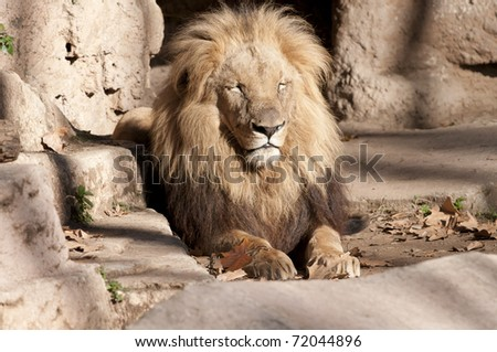 Lion resting at the zoo - stock photo