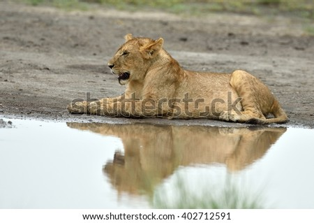 Lion resting by the water, Serengeti Tanzania East Africa - stock photo