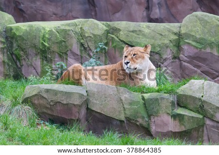 Lion resting in the green grass (Panthera Leo) - stock photo