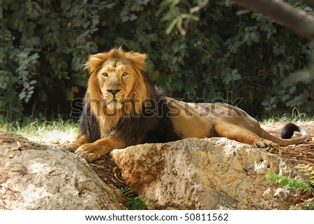 Lion resting in the shade under the trees.