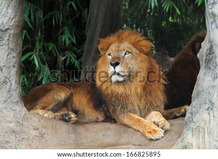 Lion resting on a tree - stock photo
