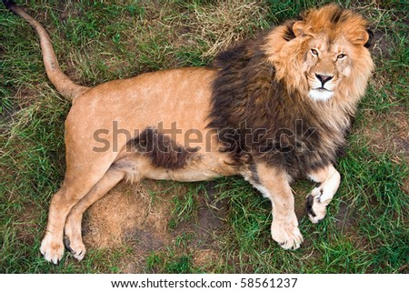 Lion resting on grass, top-view - stock photo