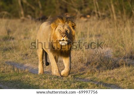 Lion roaring - stock photo