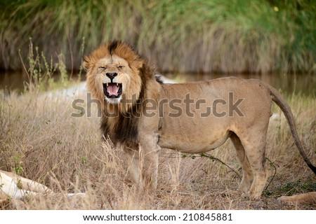 Lion roaring front portrait in the bush - Tanzania, Serengeti - stock photo