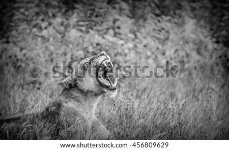 Lion roaring in black and white