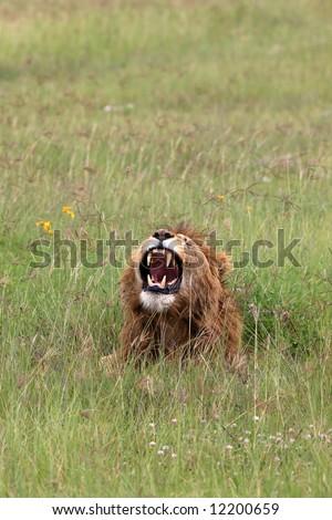 Lion roaring in the Ngorongoro crater Tanzania - stock photo