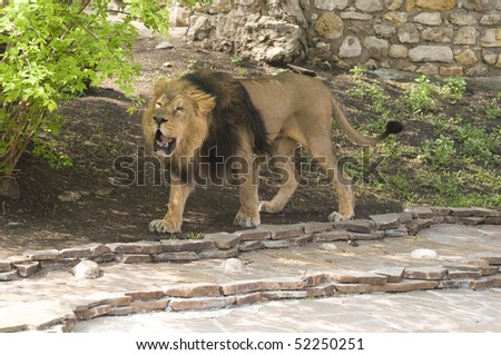 Lion's growl - stock photo